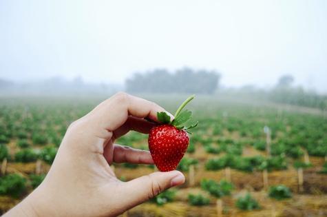 Organic Food Safety Strawberry