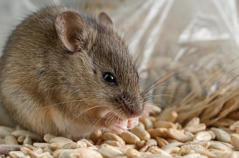 Closeup little mouse gnaws the a grain of rye near of package of grain. Inside storehouse. Fight with rodents